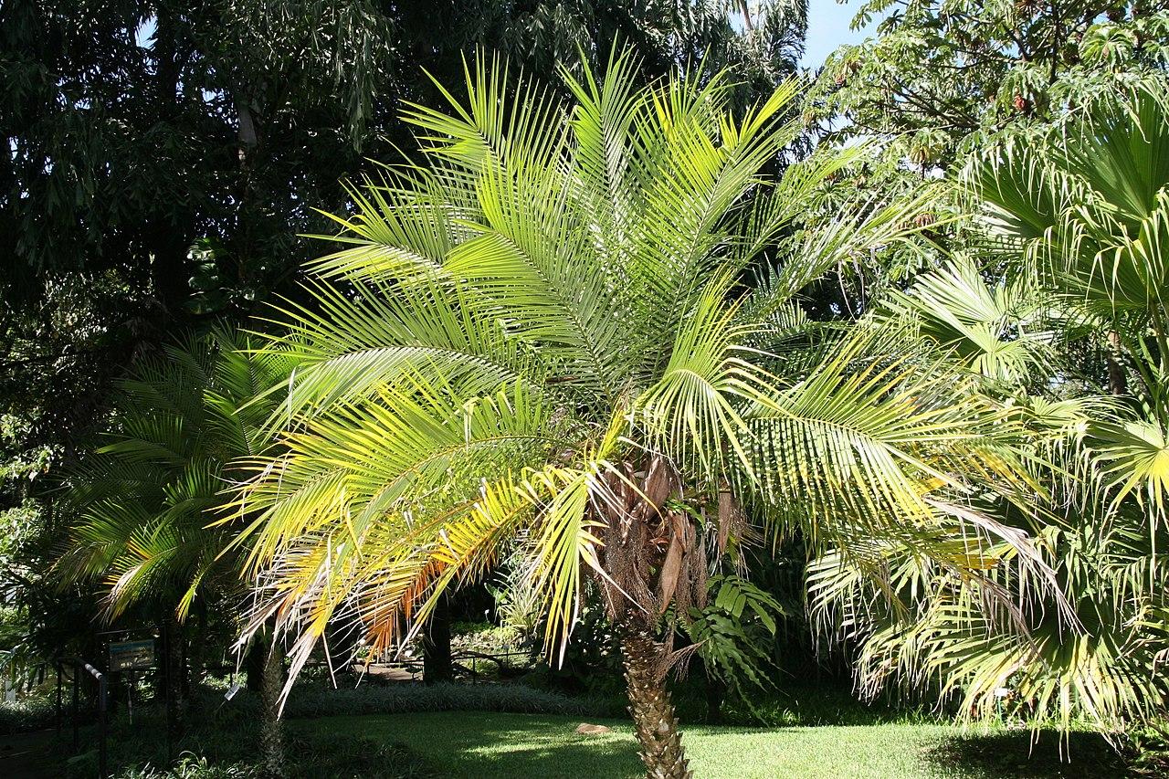 Vista de la palmera enana