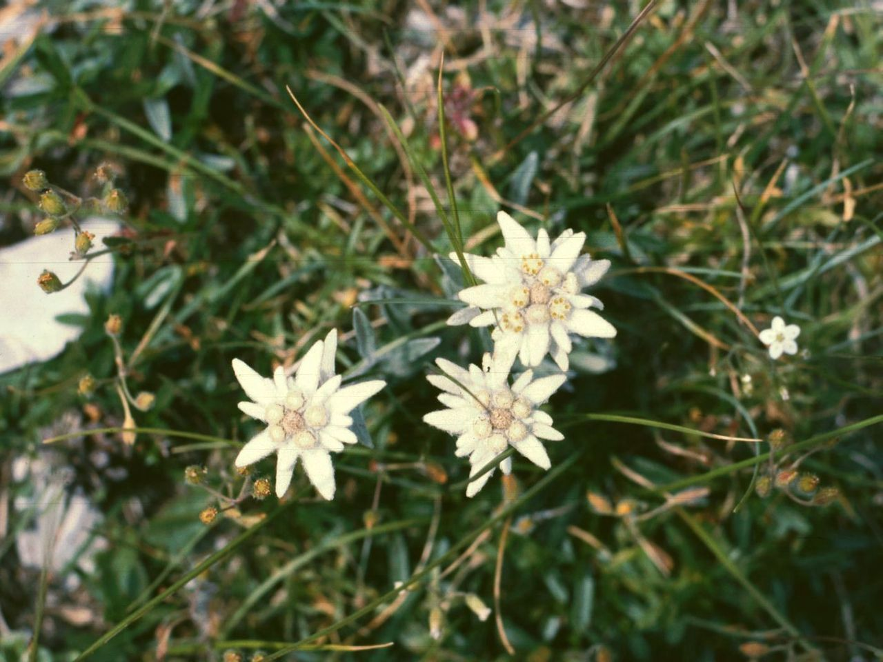 Planta edelweiss