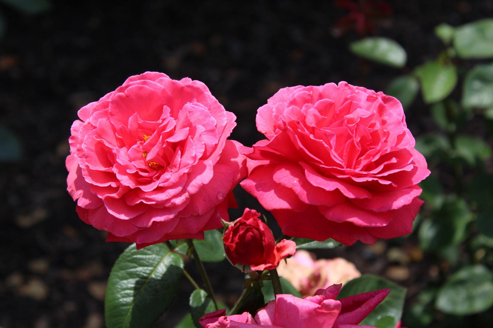 Vista de las rosas
