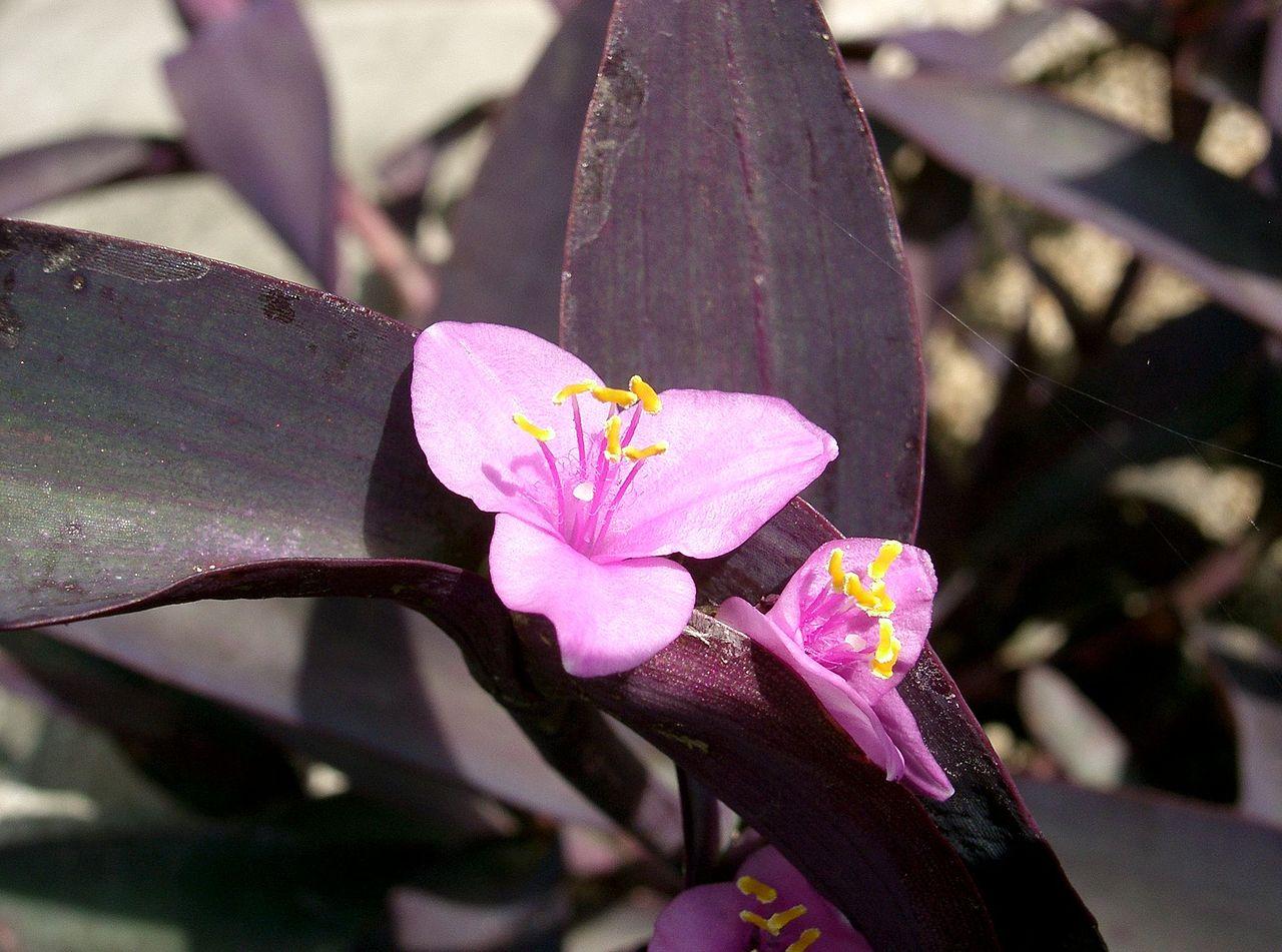 Vista de la purpurina
