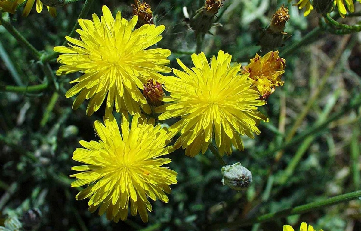 Flores amarillas Crepis vesicaria