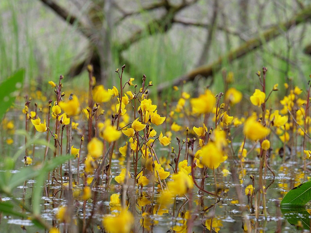 Vista de la Utricularia vulgaris