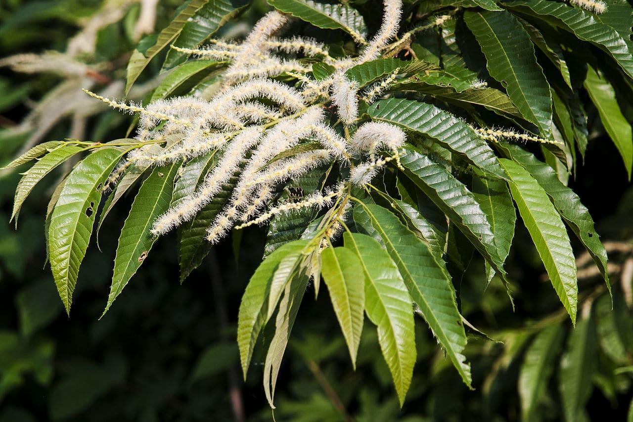 Vista de las flores del Castanea crenata