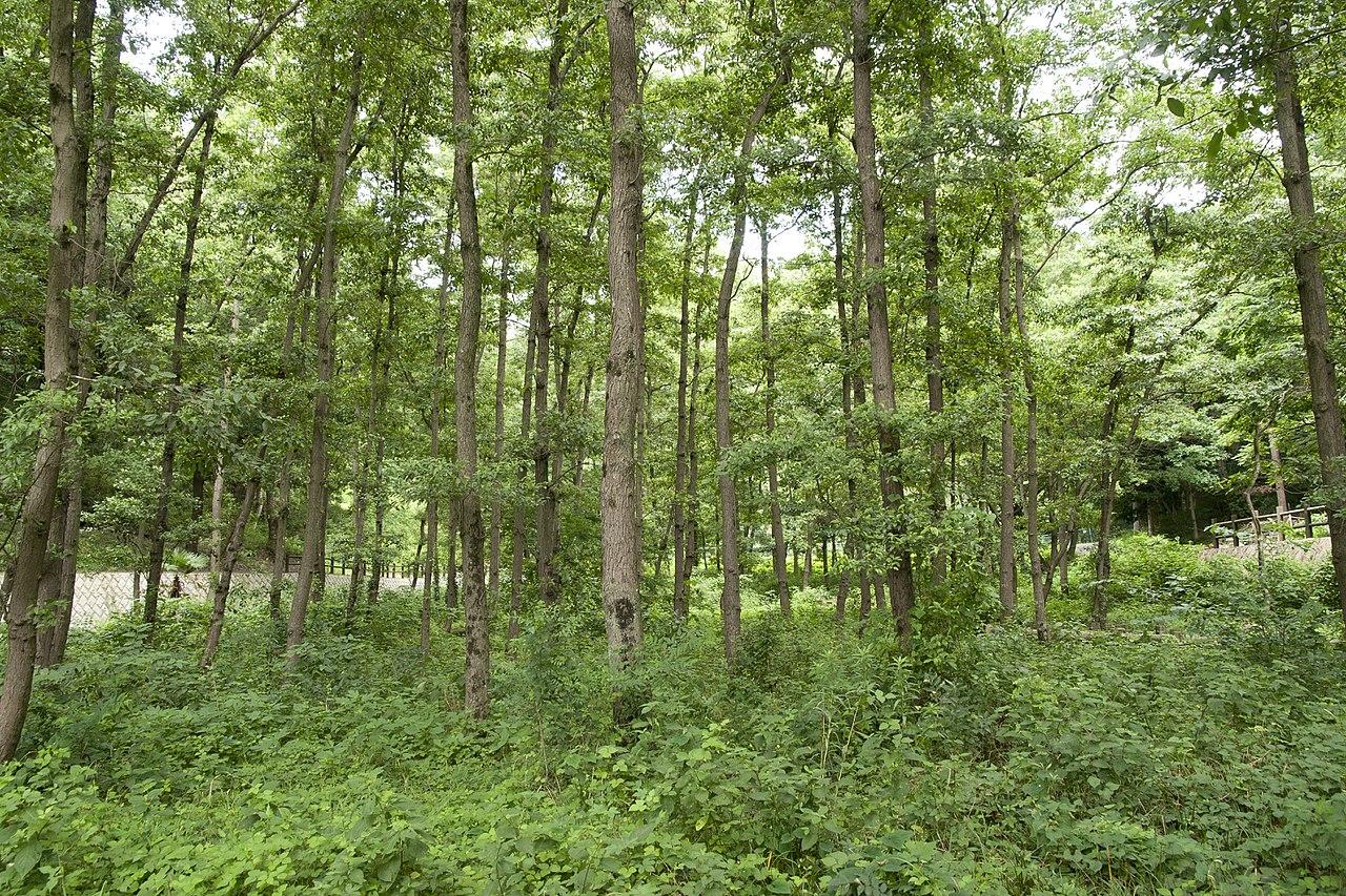 Vista del Alnus japonica