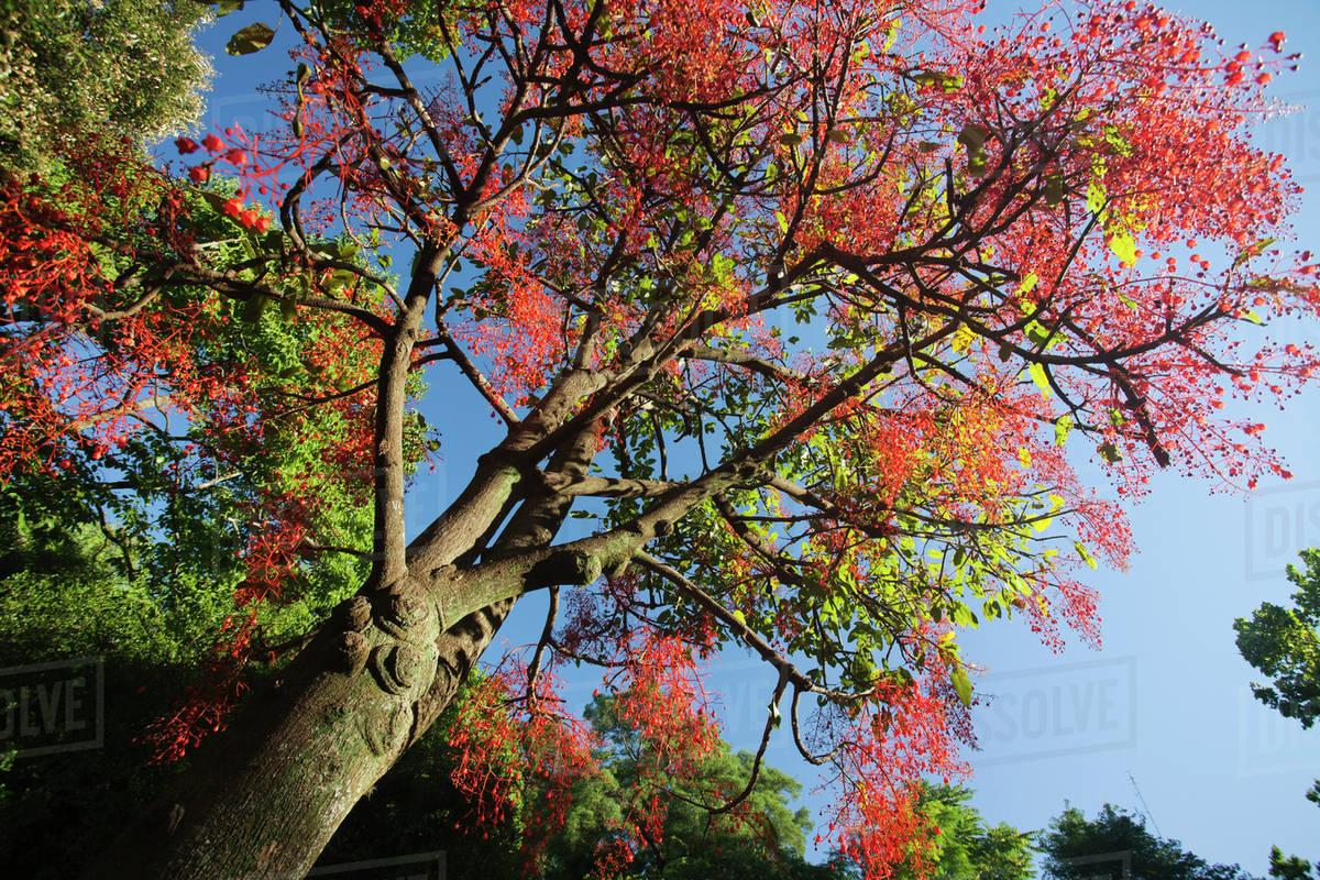 arbol con ramas y hojas rojas llamado Brachychiton acerifolius