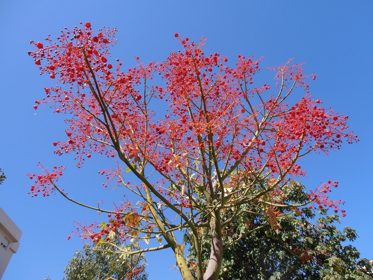 arbol de fuego o Brachychiton acerifolius