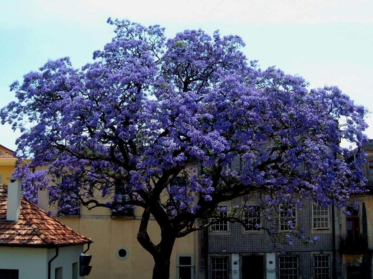 arbol lleno de flores de color lila