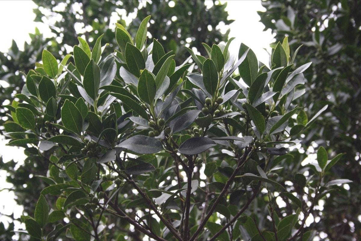 arbol o arbusto con frutos