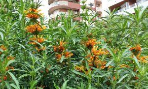 arbusto con flores naranjas muy llamativas