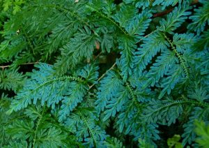 arbusto con hojas parecidas al helecho, llamado Selaginella