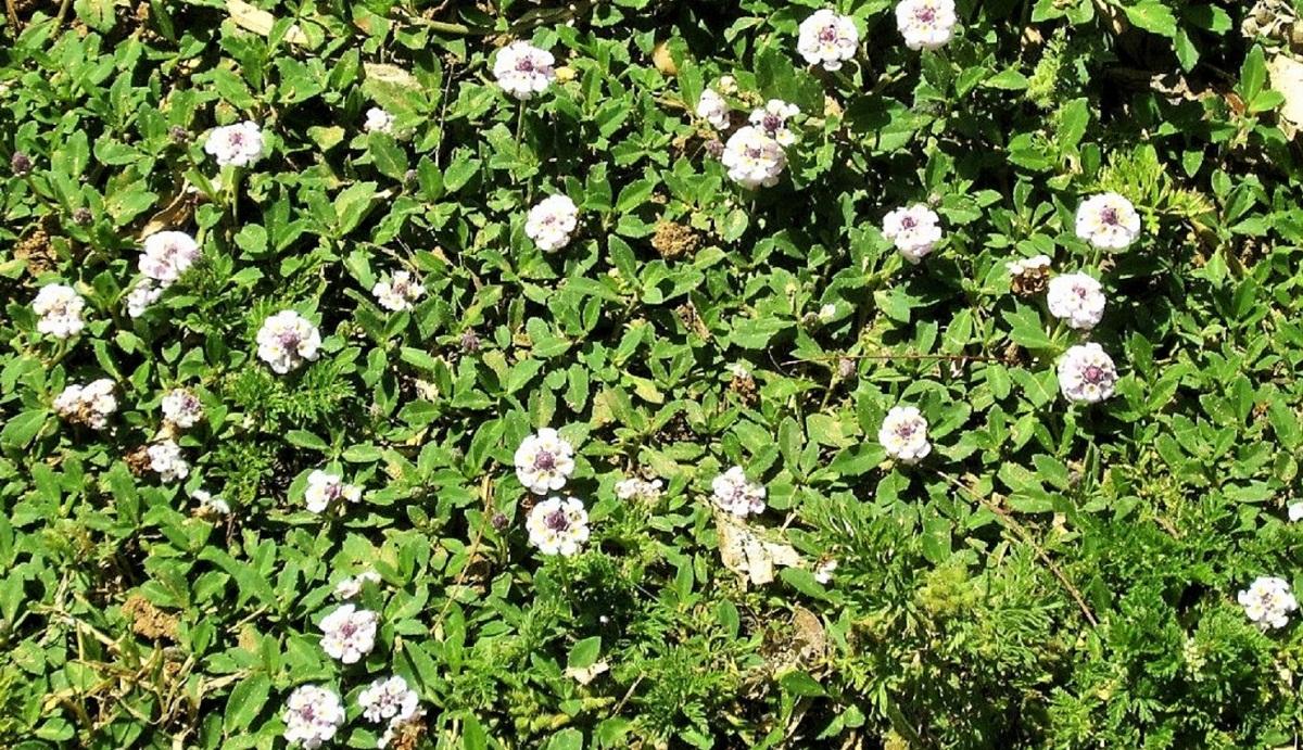 arbusto con pequenas flores blancas y muchas hojas