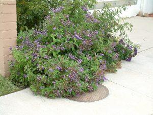 arbusto con pequenas flores lilas situadas en la entrada de una casa