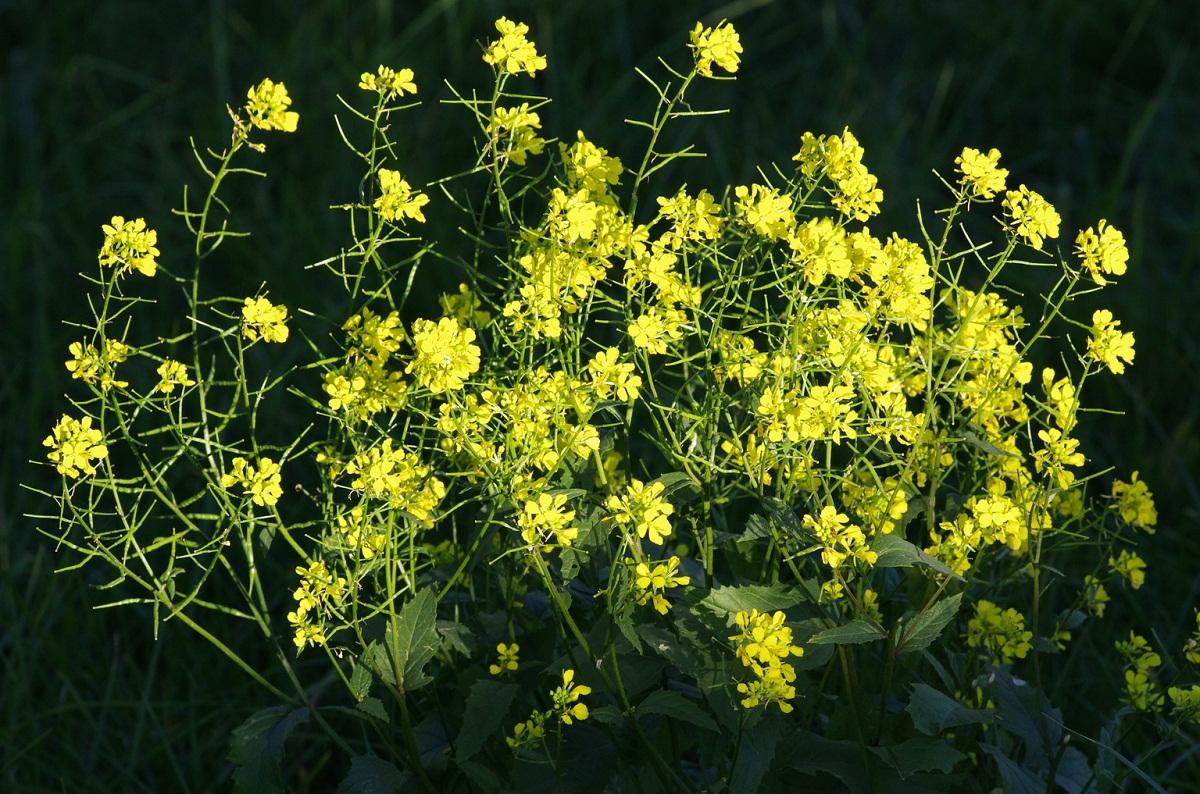 arbusto lleno de mucho colorido amarillo del arbusto Sinapis arvensis