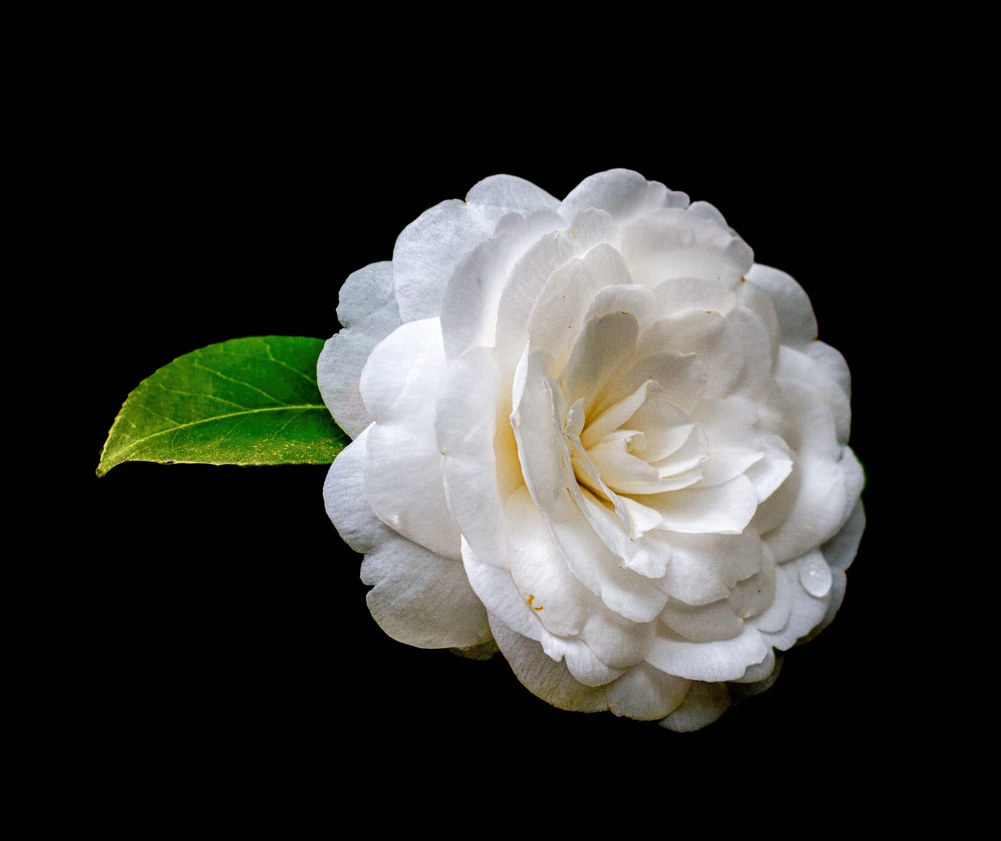 Vista de la Camellia japonica