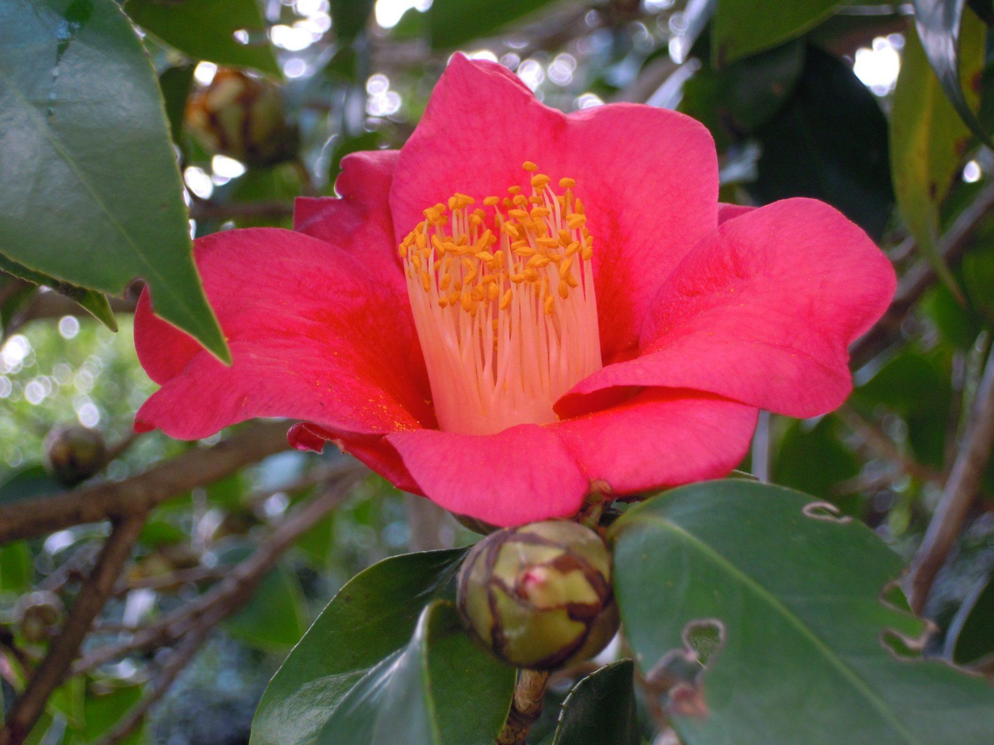 Vista de la Camellia sasanqua