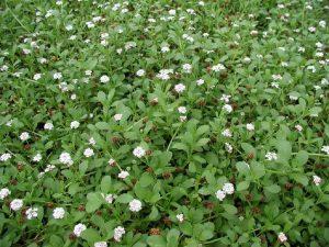 campo lleno de flores llamadas Lippia nodiflora