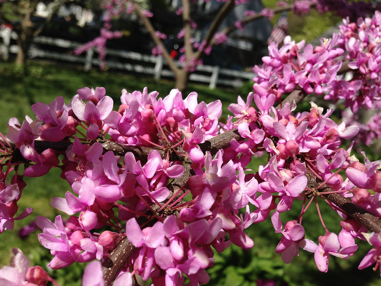 Vista de las flores del Cercis canadensis