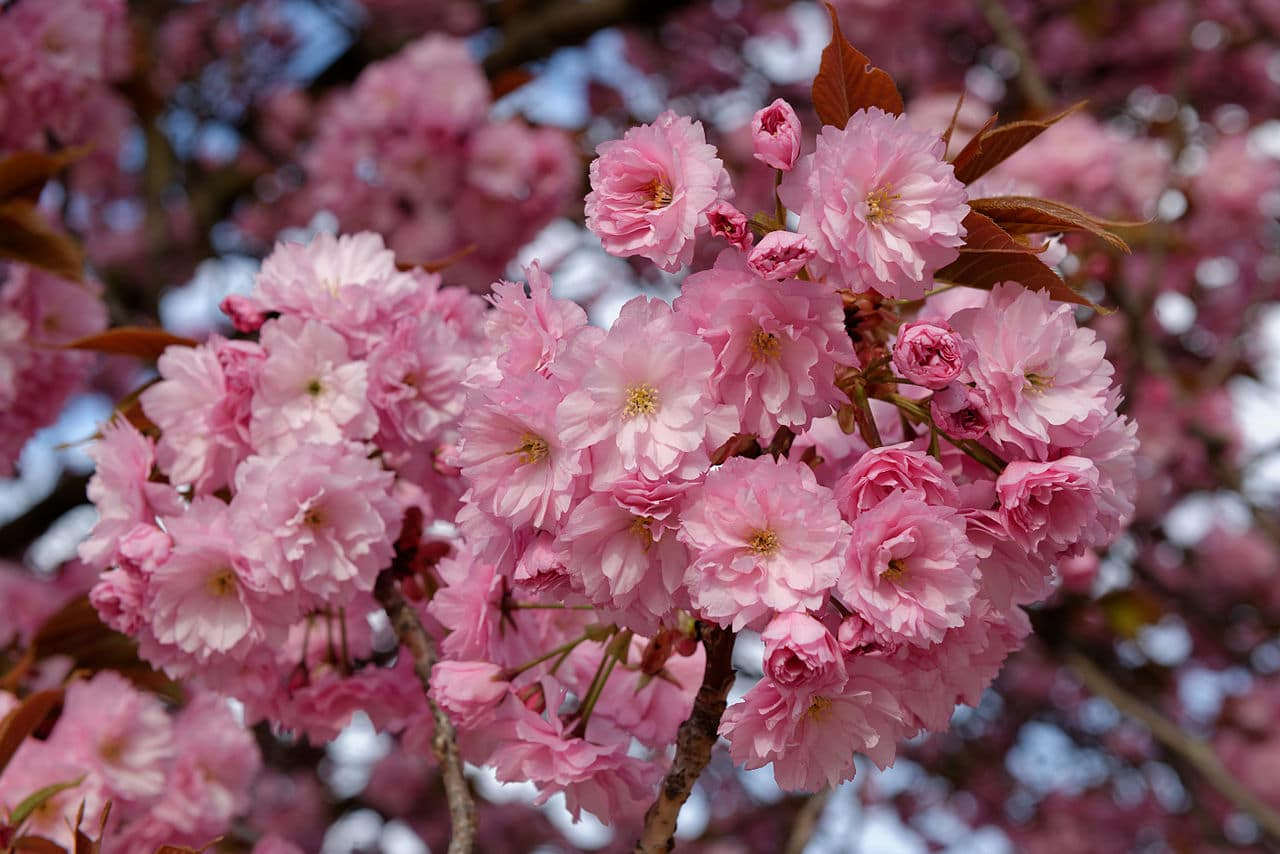 El cerezo japonés produce flores rosas