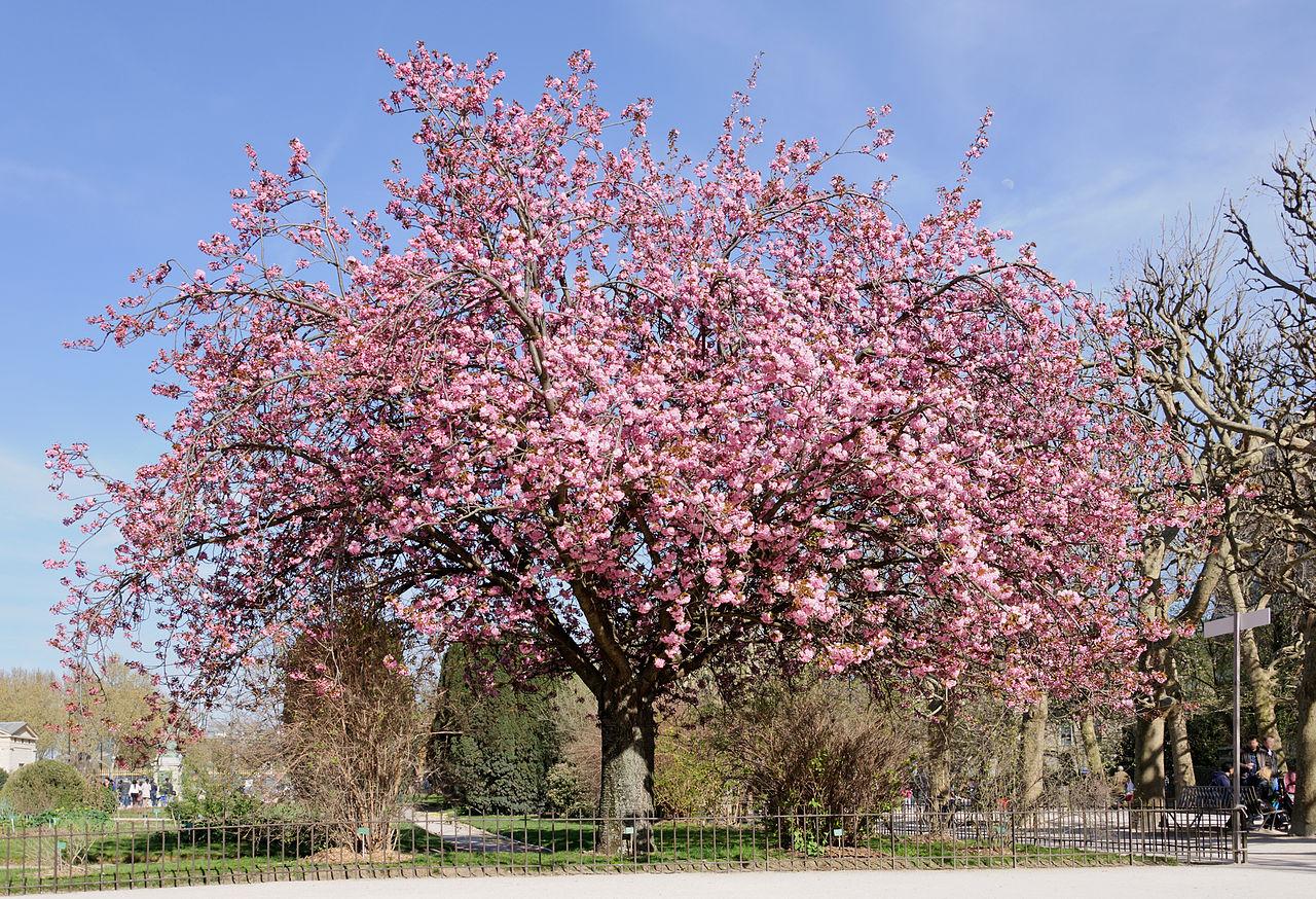 Vista del cerezo japonés en flor