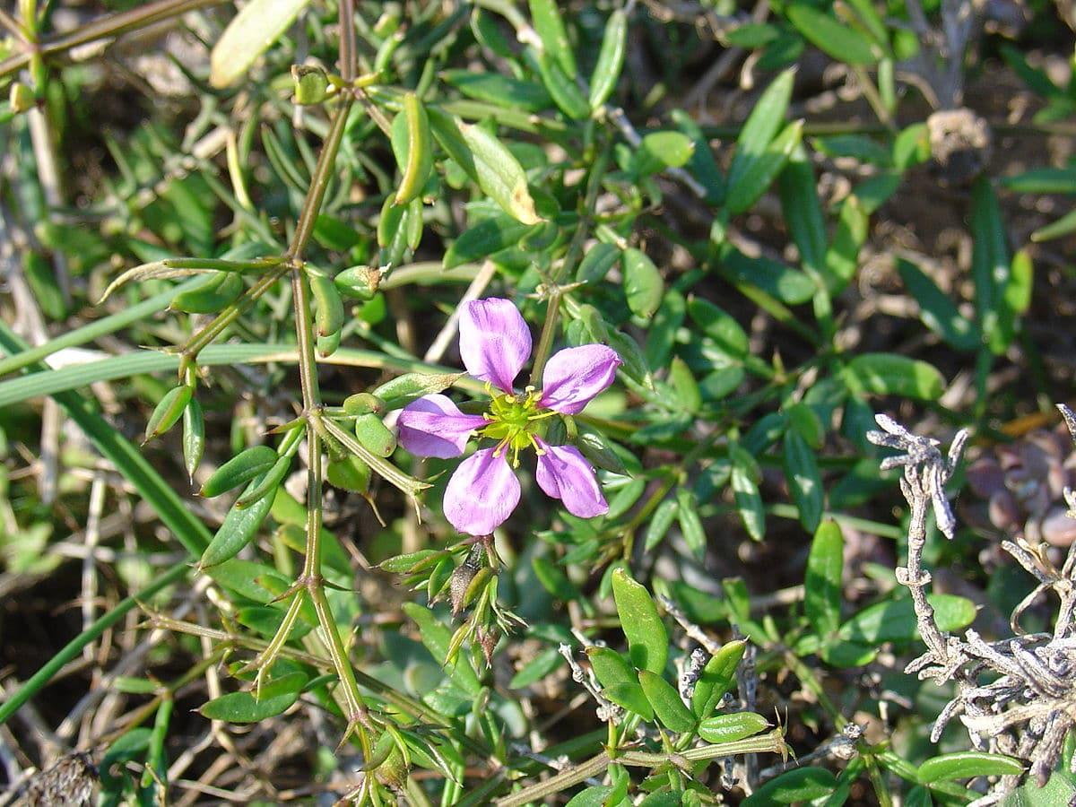 flor con cuatro petalos de color lila