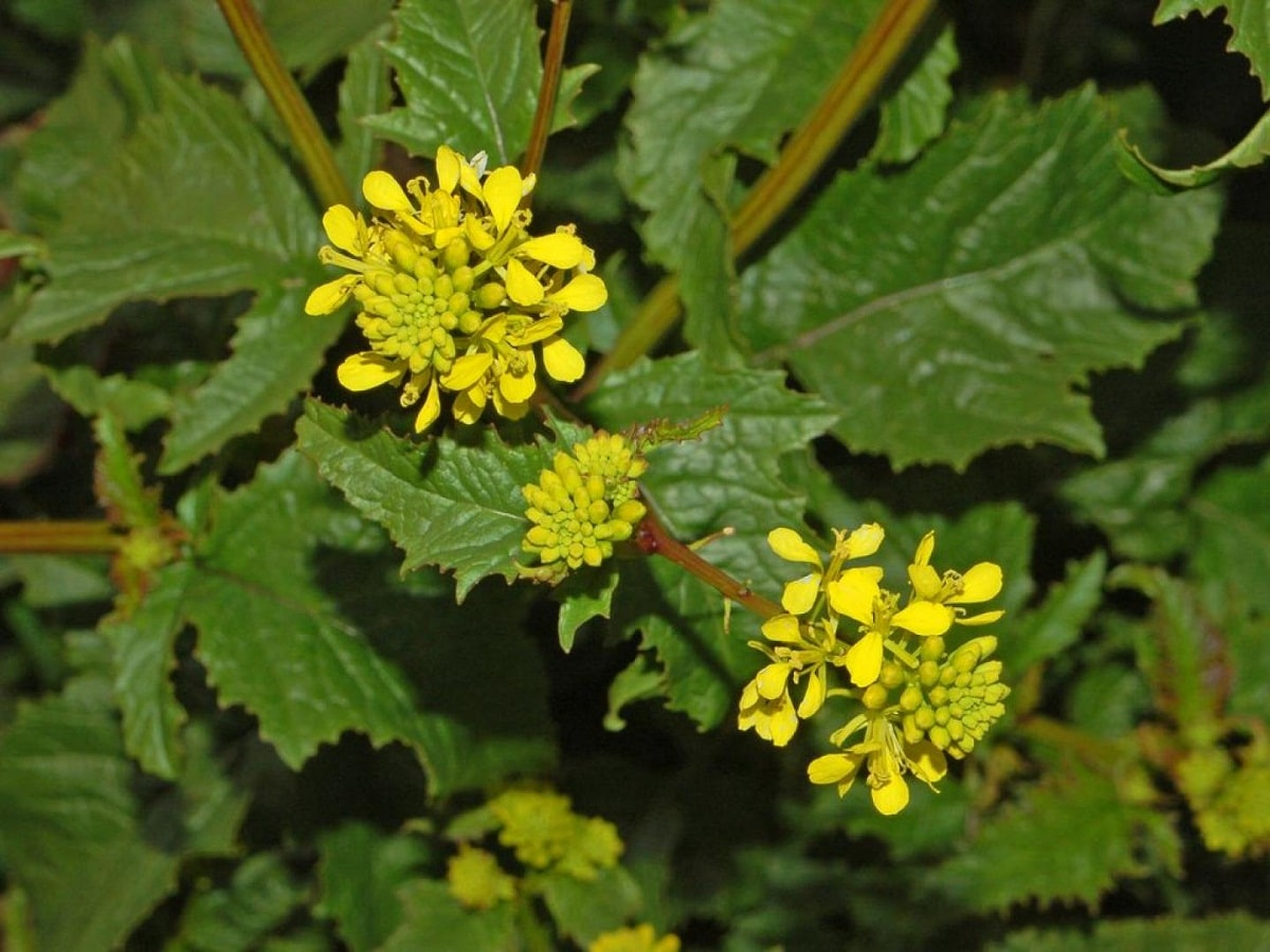 flor de la Sinapis arvensis o mostaza de campo