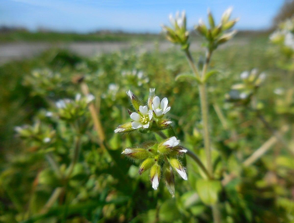 flores con petalos blancos de la planta cerastium tomentosum