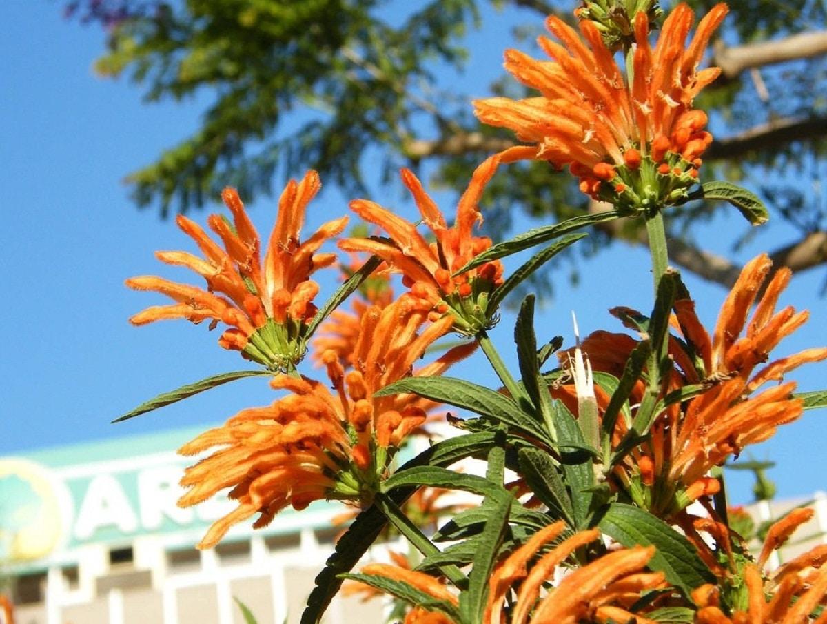 flores de la marihuana salvaje o Leonotis leonurus