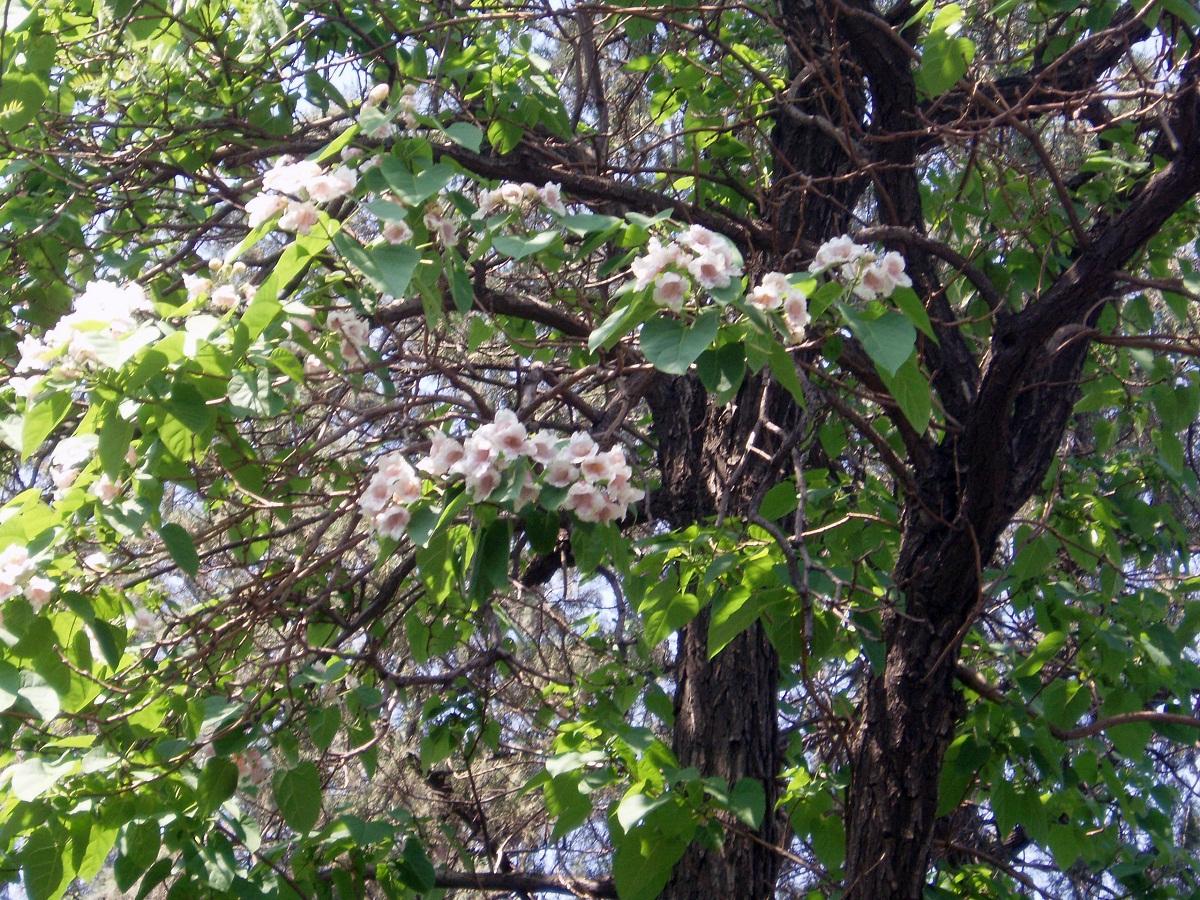 flores del arbol llamado Pawlonia fortunei