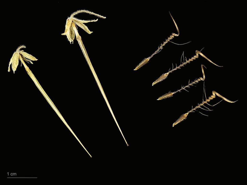 Vista de los frutos del Erodium moschatum