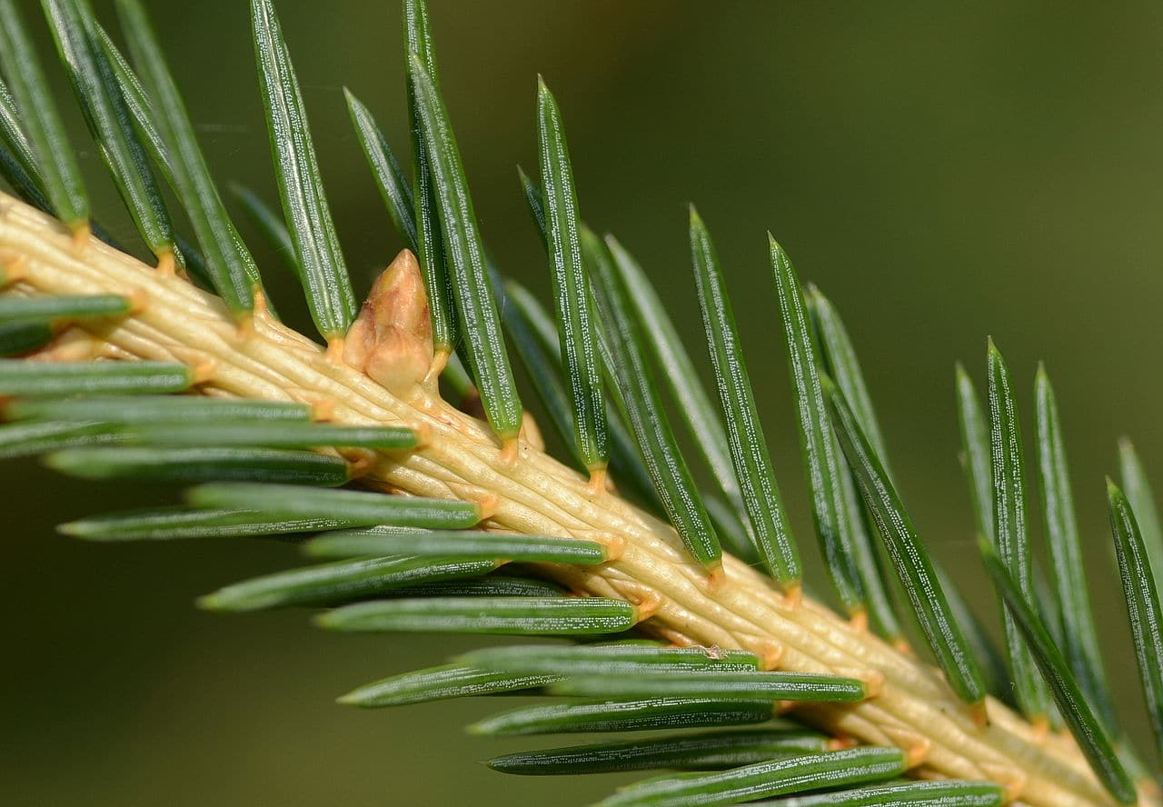 Las hojas de la Picea abies son verdes