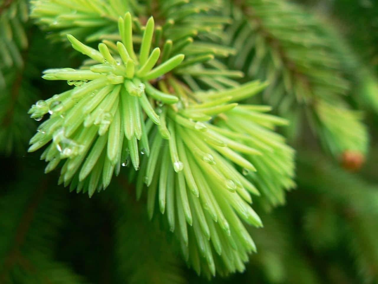 Las Picea son perennifolias