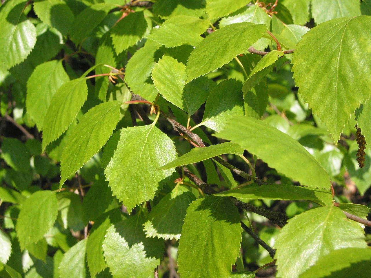 Las hojas del Betula pubescens son verdes