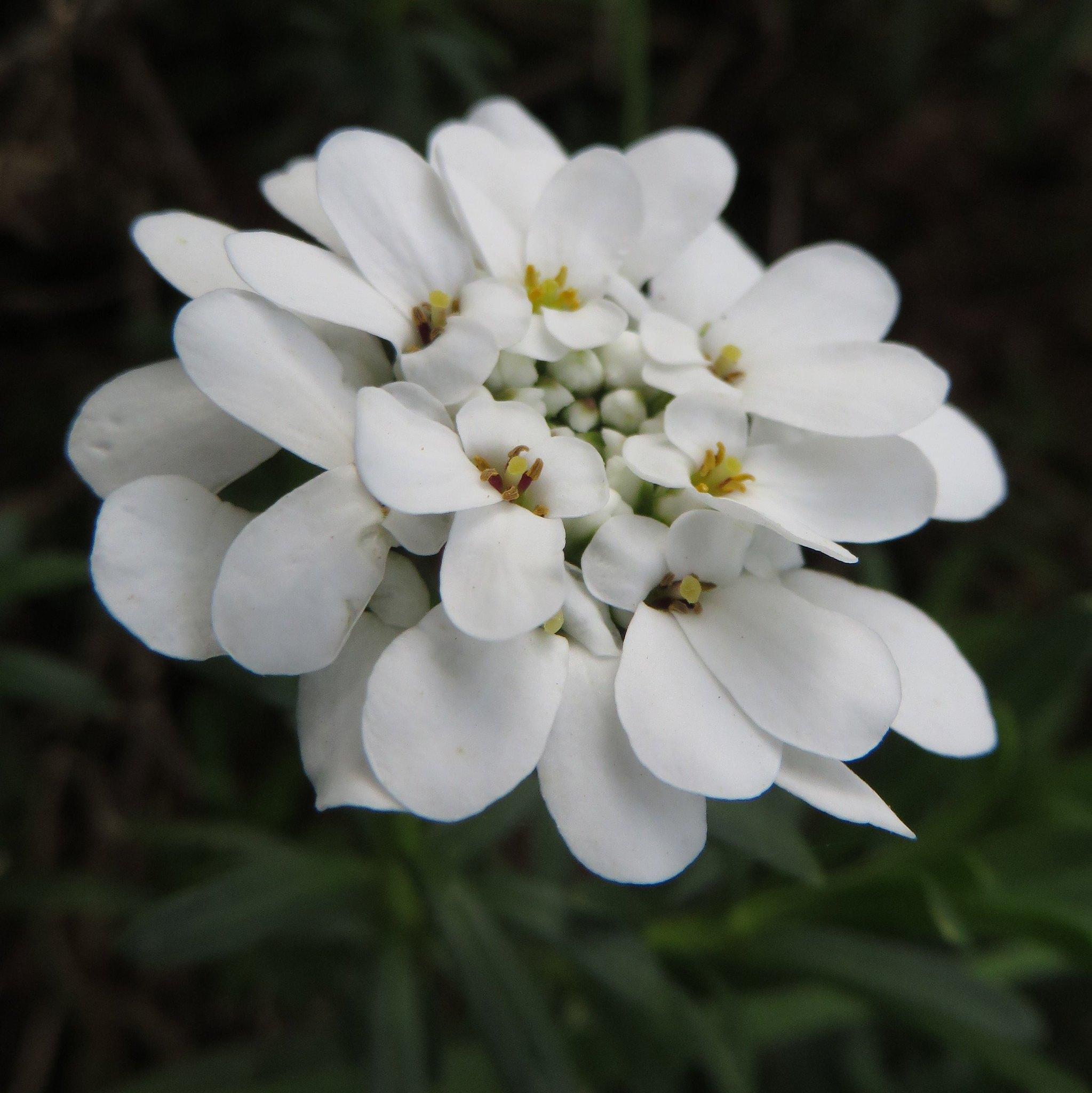 Vista del Iberis en flor