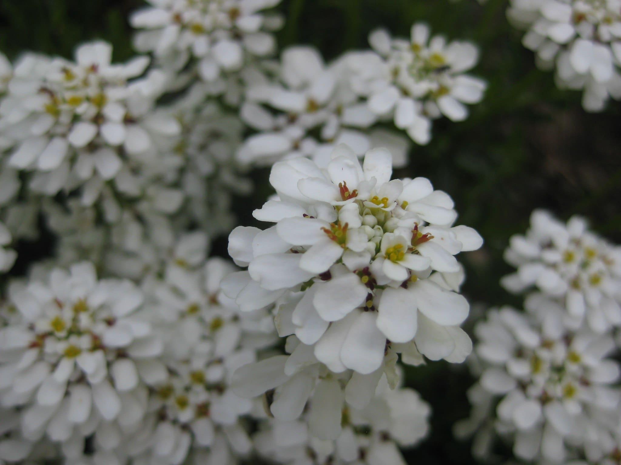 Vista de las flores del Iberis