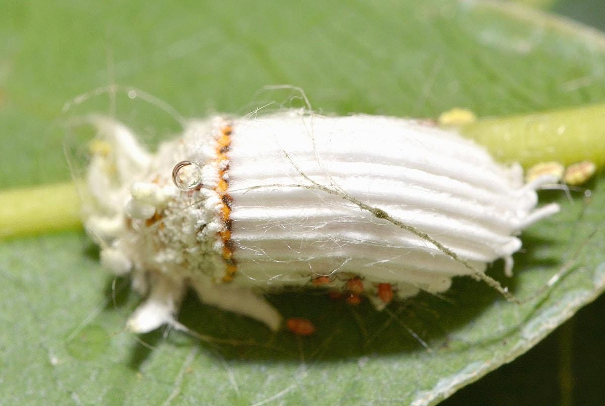 insecto blanco llamado cochinilla acanalada