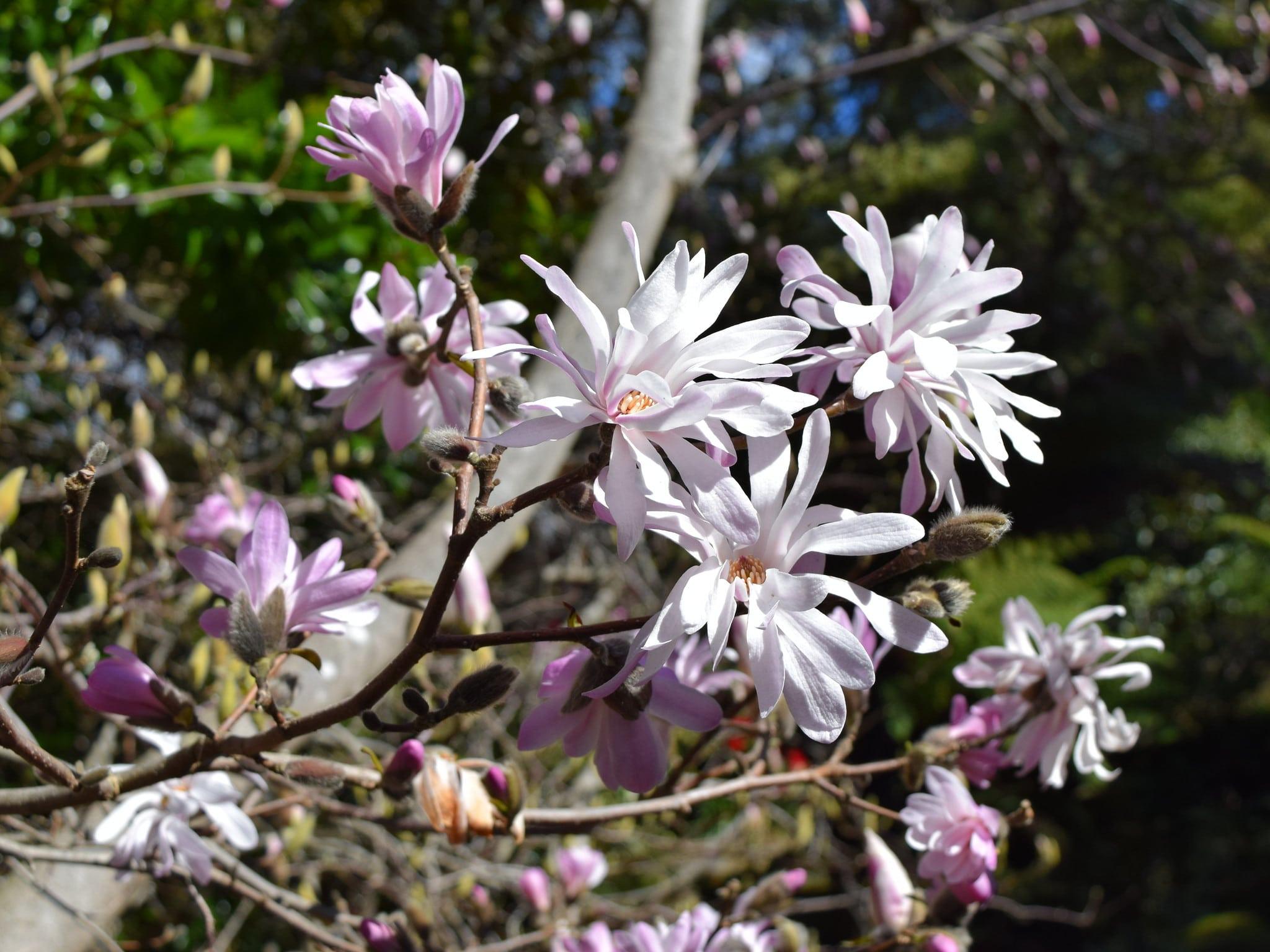 Las flores de la Magnolia stellata Rosea son rosadas