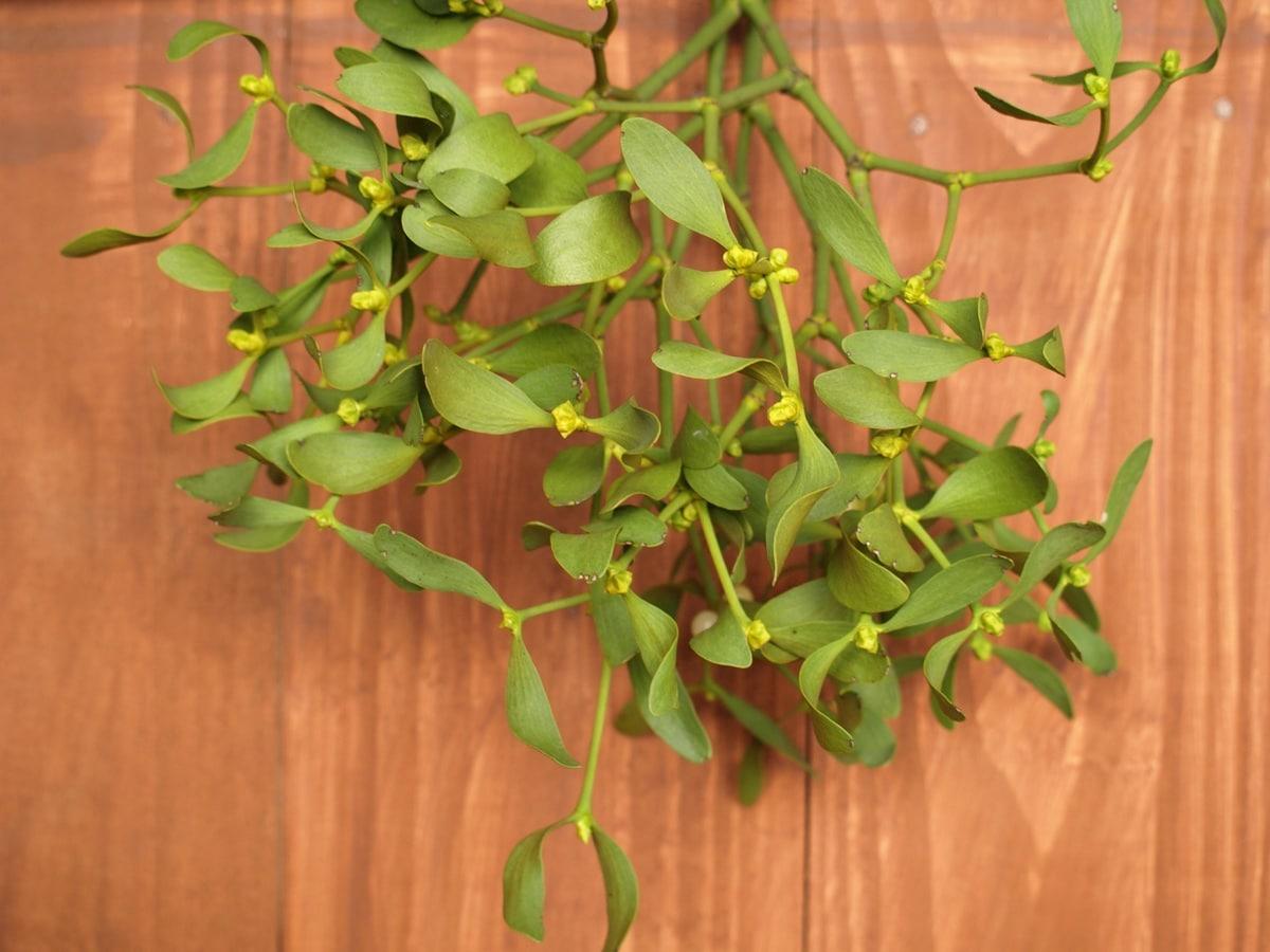 El muérdago es una planta semiparásita propia de navidad