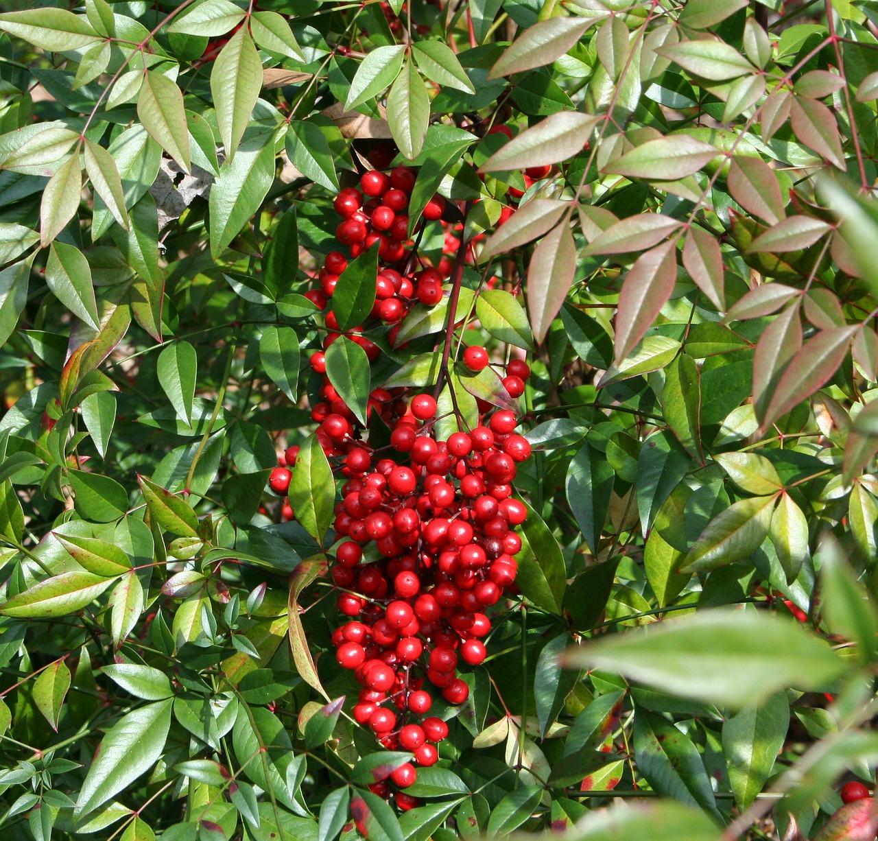 La nandina produce frutos rojos en invierno
