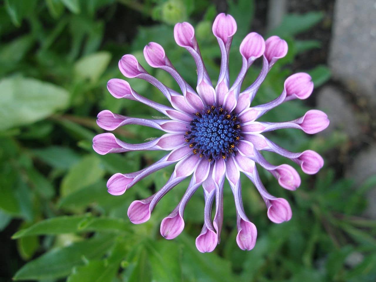 Vista del Osteospermum en flor