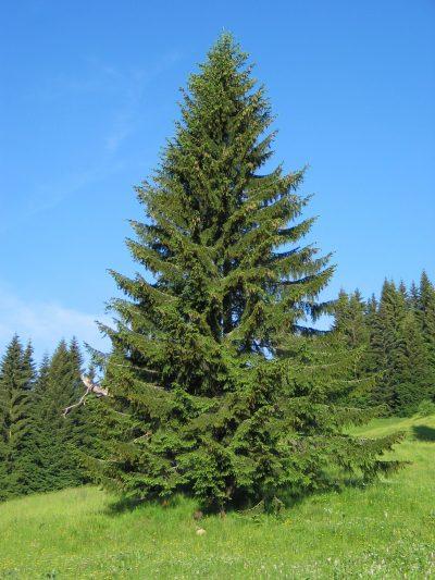Vista de la Picea abies