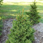 Vista de Picea abies jóvenes en un jardín