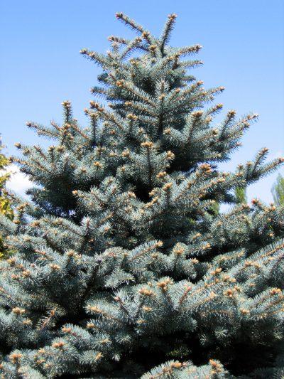 Vista de la Picea pungens