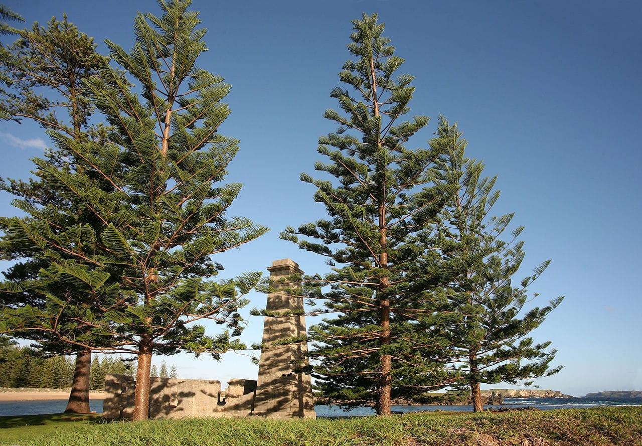 Vista del pino de Norfolk