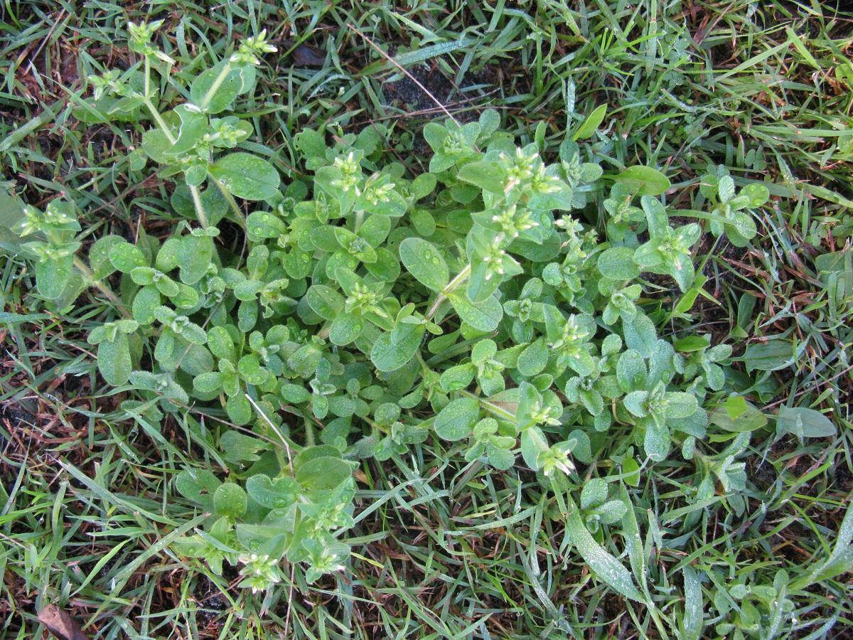 planta tapizante para jardines