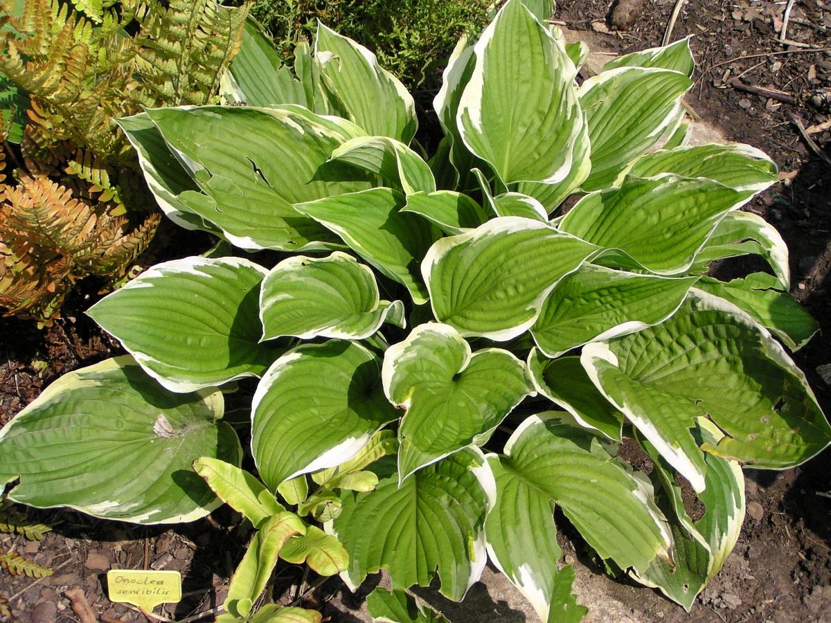 planta de grandes hojas de un color verde intenso