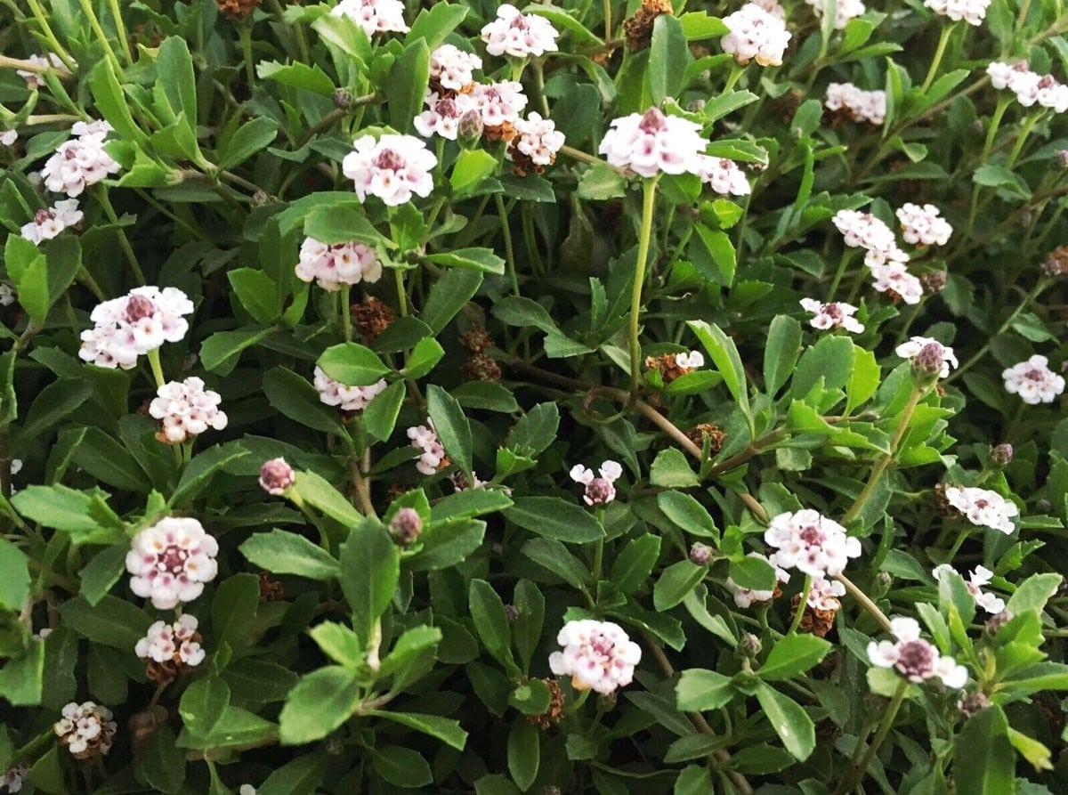 planta tapizante con flores blancas llamada Lippia nodiflora