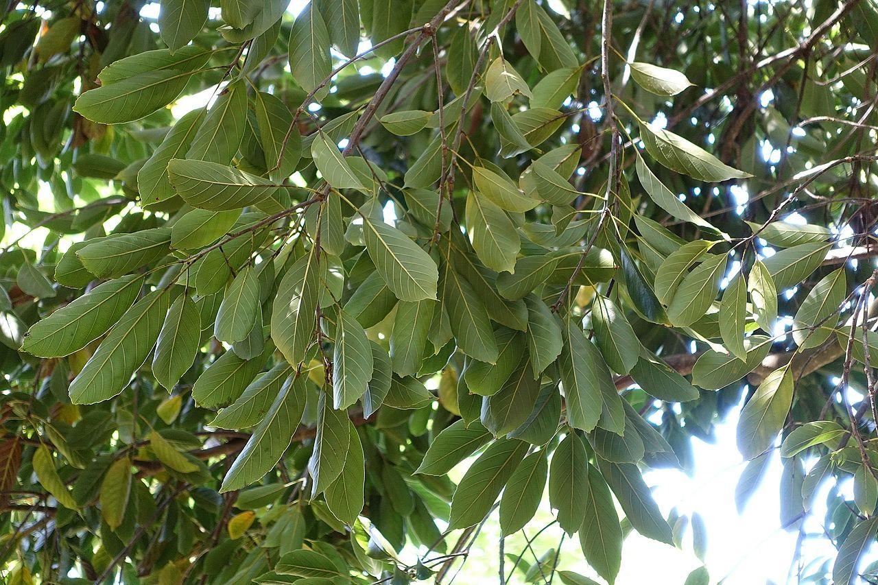 Vista de las hojas del Quercus acuta