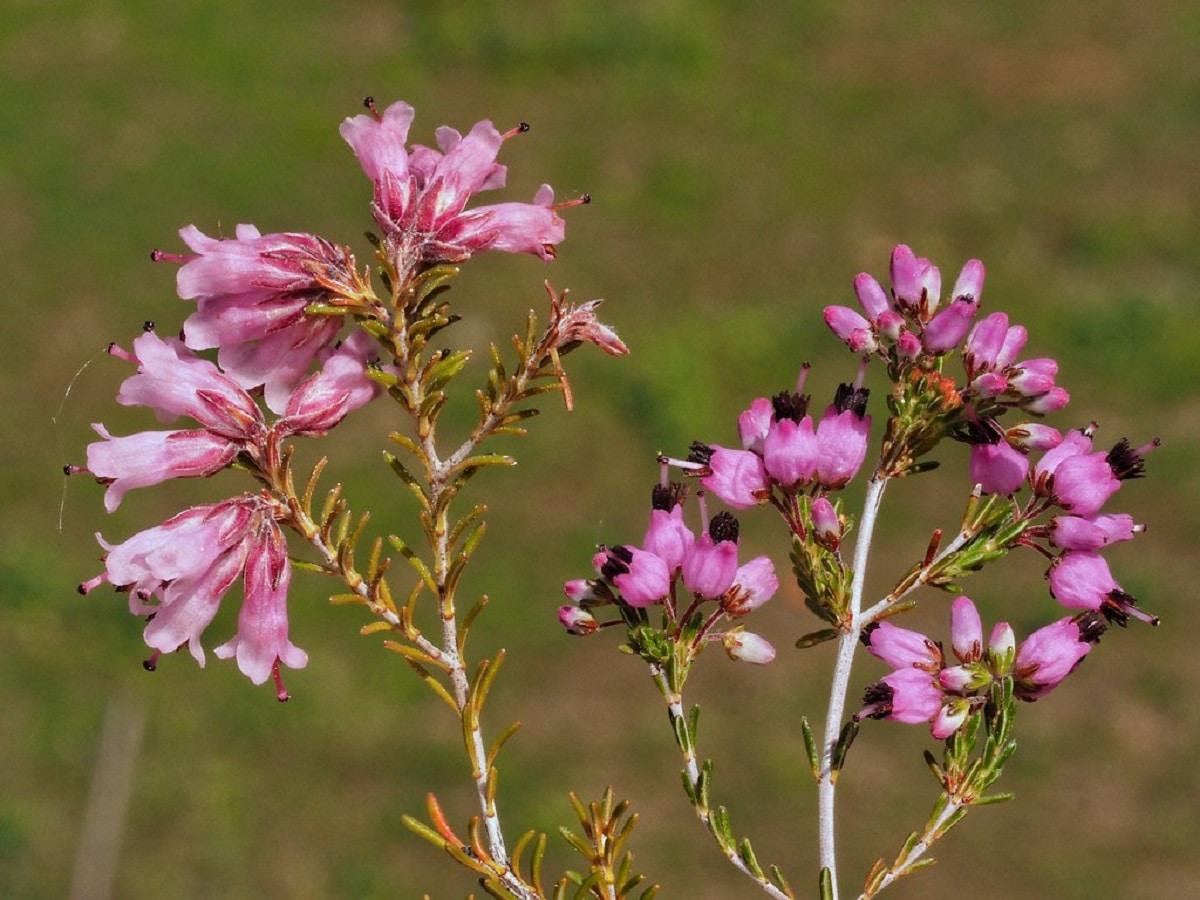 ramas con flores de color rosa de la erica umbellara