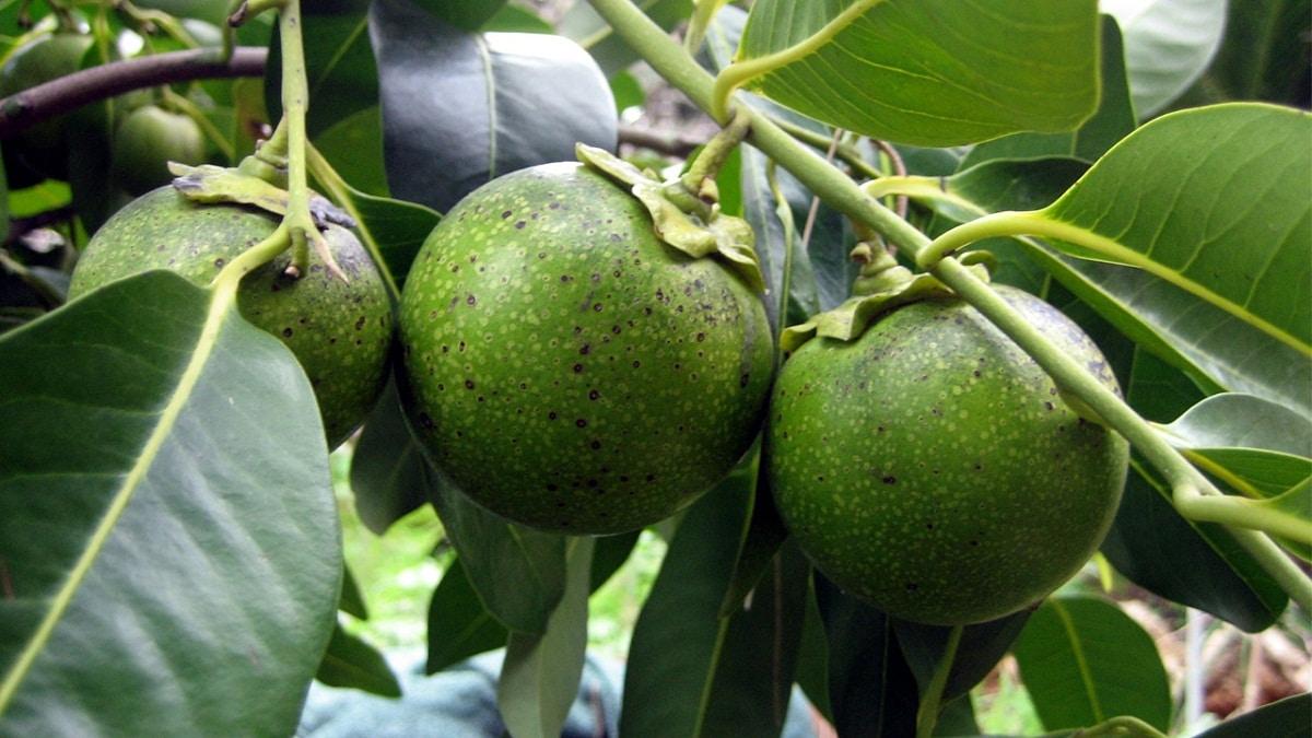 ramas de arbol con fruta llamada zapote negro