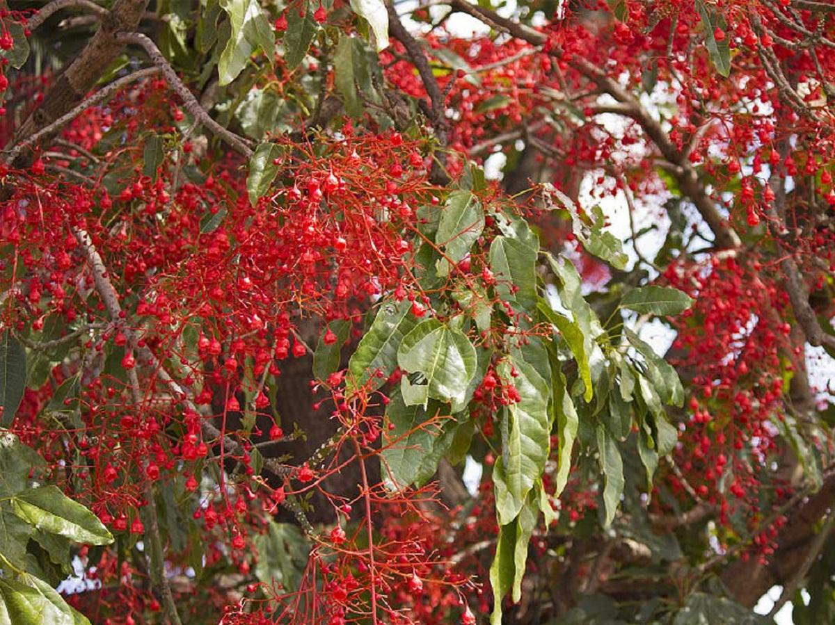 ramas de cerca del arbol de fuego